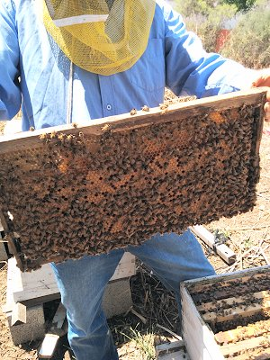 הדבורים בכוורת